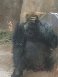Baffled Gorilla